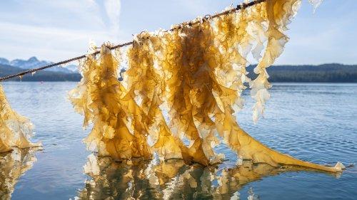 Reclaiming Native Knowledges Through Kelp Farming in Cordova, Alaska