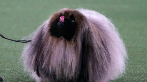 23 Thoughts I Had About Wasabi, the Winner of the Westminster Dog Show