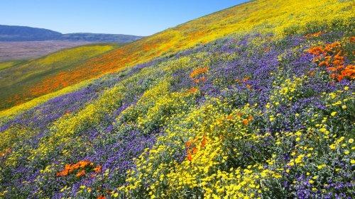 Why California's Super Bloom Is Under Siege