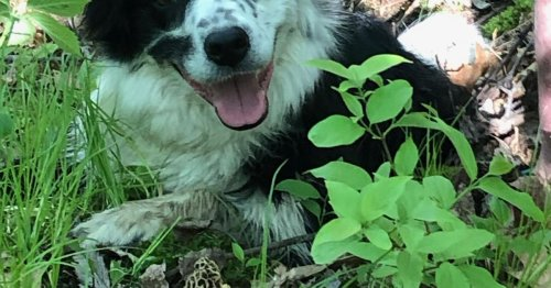 A nose for morels: Teaching dogs to help in the hunt for morel mushrooms