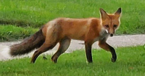 Chicago outdoors: Suburban red fox, roaming IL black bear, IL squirrel species, IL fishing advisories