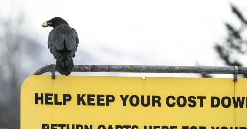 Ravens are stealing food from Costco shoppers in Alaska