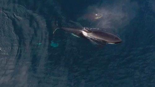 Watch killer whales eat a shark alive