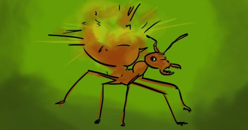 What should ants do when they're in trouble? These ones explode