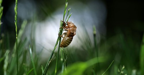 What the cicadas will leave behind