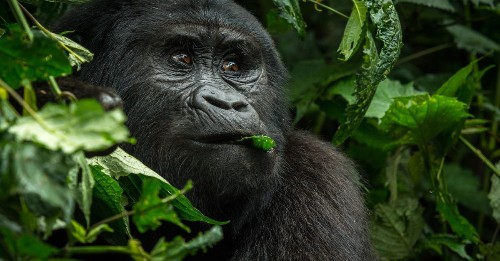 Mountain gorillas are distancing, too — from humans