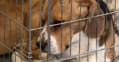Lab animals deserve adoption or a caring retirement — not euthanasia