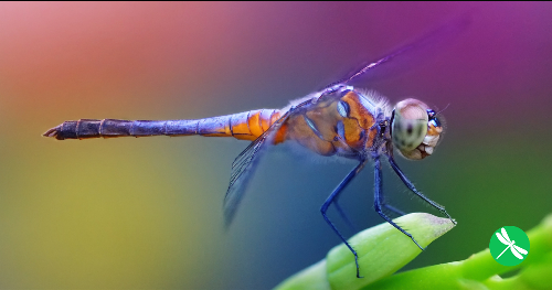 One Dragonfly Can Eat 100s of Mosquitoes per Day: Keep These Plants in Your Yard to Attract Dragonflies!