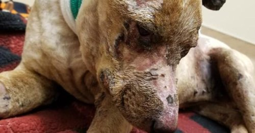 'Dixie's Law': Animal welfare advocates call for harsher abuse penalties after dog set on fire