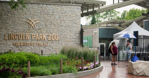 Lions, other big cats return to Lincoln Park Zoo