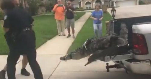 This giant alligator KO'ing an official is the most Florida thing you'll see all day