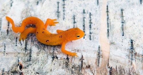 Salamanders have a secret to surviving climate change