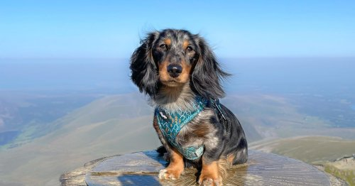 Sausage dog climbs Snowdon in one day and nobody can believe it