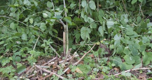 The worst Japanese knotweed hotspots in Cheshire