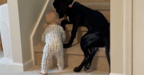 Le bébé s'approche dangereusement des escaliers : le grand chien a une réaction qui fascine 16M de personnes (vidéo)