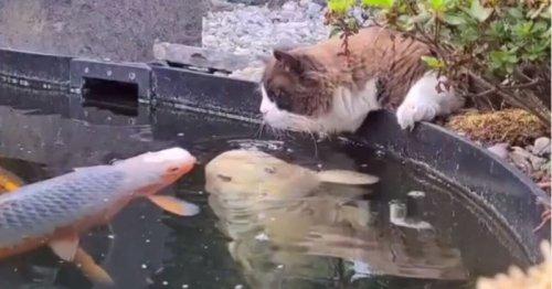 Le chat Ragdoll regarde les poissons dans l'étang et fait quelque chose d'inimaginable !