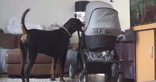 Le bébé éclate en sanglots : le chien accourt et glisse quelque chose dans le berceau qui va tout changer (vidéo)