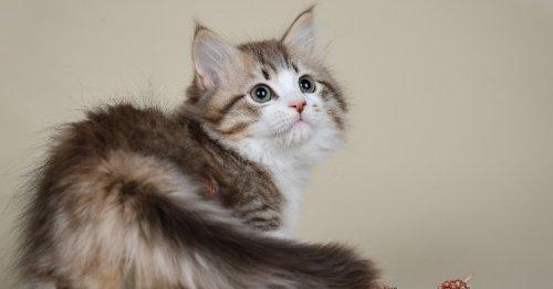 10 races de chats qui restent petits toute leur vie (Photos)