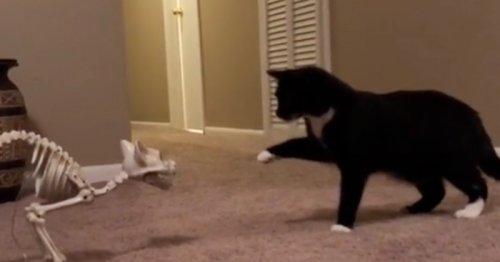 Le chat s'approche du squelette : 48 millions de personnes sont mortes de rire face à sa réaction (Vidéo)