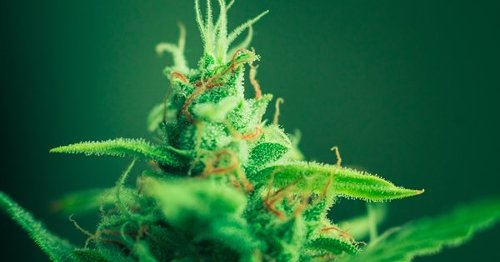 Delaware cannabis activists take on corporate marijuana