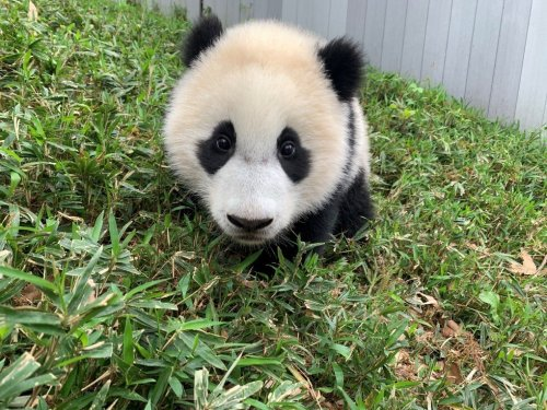 Want to Meet the Zoo's New Baby Panda? You'll Need a Special Pass