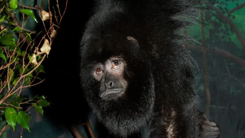 Reuben, a Howler Monkey at the National Zoo, Has Died
