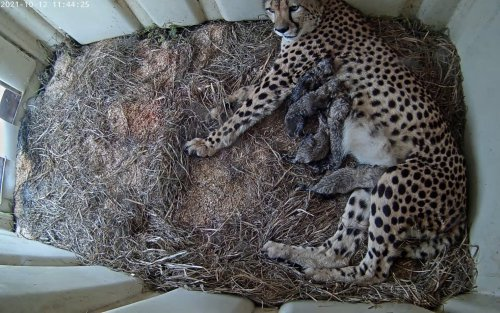 Five Cheetah Cubs Were Born at the Smithsonian Biology Institute, and Yes, There's a Webcam