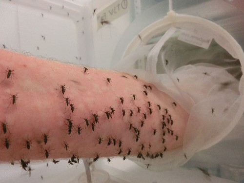 Scientists fight disease-carrying mosquitoes by letting them feed off their blood