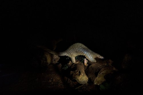 Pangolins are elusive, nocturnal and threatened by illegal trading. A nonprofit in Vietnam seeks to save the scaly mammals.