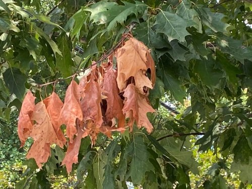 The cicadas are gone, but they left their mark on trees. Here's what you can do.