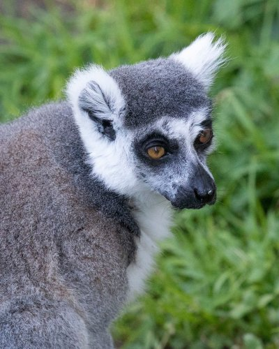 A lemur was kidnapped from a zoo, authorities say. A 5-year-old helped crack the case.
