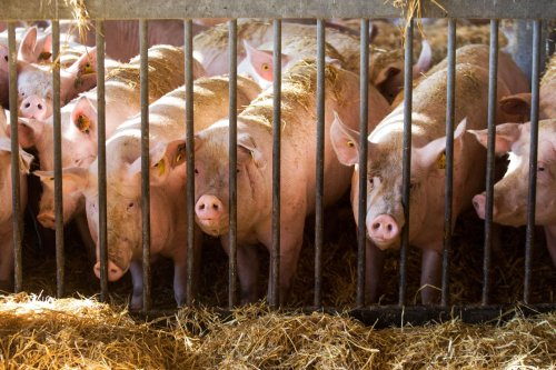 Wanted temporarily in post-Brexit Britain: 800 foreign butchers to slaughter some 120,000 pigs