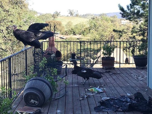 Only a few hundred California condors live in the wild, but about 20 teamed up to trash one woman's deck