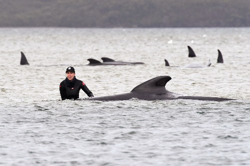 380 pilot whales dead in one of the worst mass strandings in Australia's history