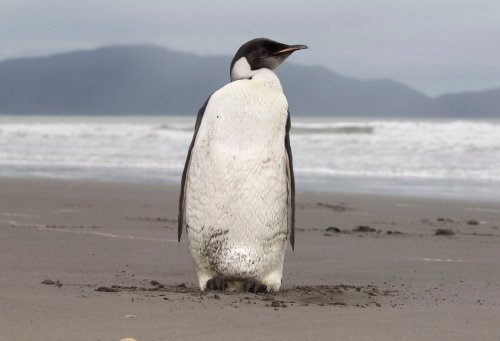 Virtually all emperor penguins doomed for extinction by 2100 as climate change looms, study finds