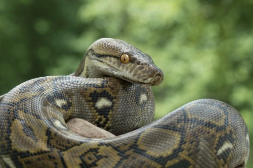 A woman went to check her corn — and was swallowed by a python