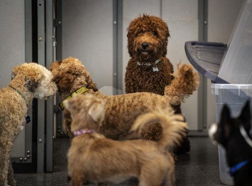 At doggie daycare, a pandemic puppy spends his first day without mom and dad