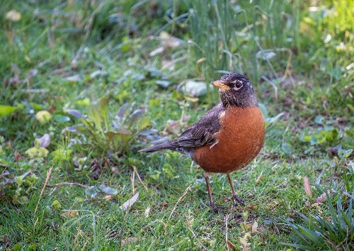 If the robin is a bird of spring, why do many of them strut their stuff in winter?