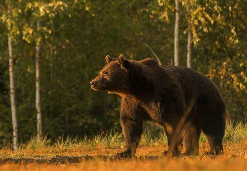 Liechtenstein prince accused of poaching Europe's largest bear