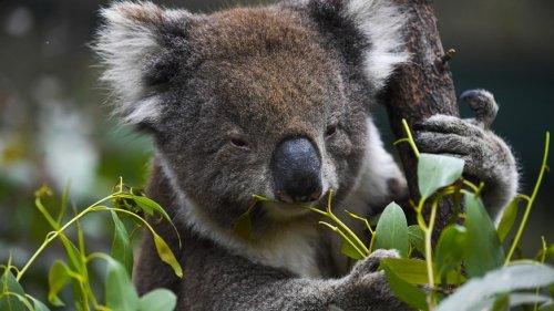 Die Zahl der Koalas in Australien sinkt rapide – in einigen Regionen sind sie ausgestorben