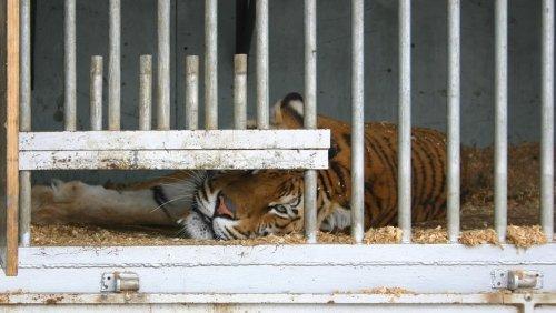 Großkatzen-Privatzoos droht das Aus: US-Senatoren wollen Verbot auf den Weg bringen