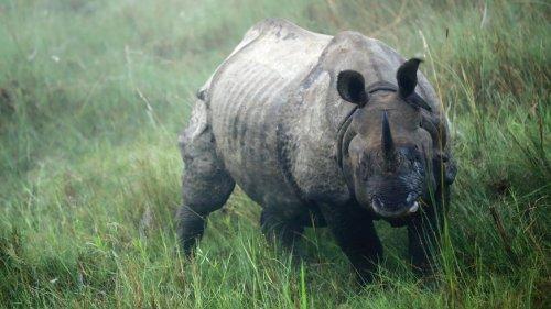 Nach Fast-Ausrottung durch Wilderer: Zahl der Nashörner in Nepal steigt wieder
