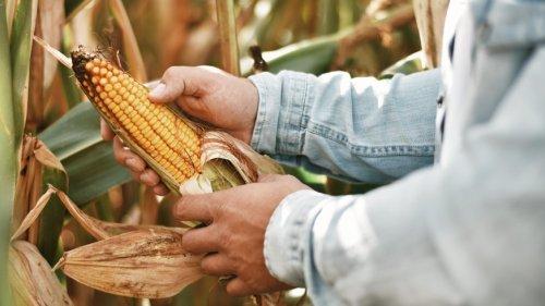 Nachhaltige Idee: Mit Mais-Resten kann Wasser gereinigt werden