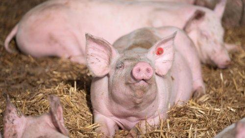 Preise im Sinkflug: Warum Schweinehalter ihre Tiere nicht mehr loswerden