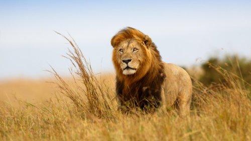 Südafrika will Zucht von Löwen in Gefangenschaft verbieten