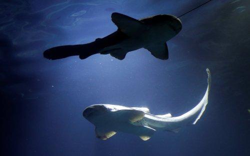 Les populations de requins et de raies ont diminué de 70 % en 50 ans