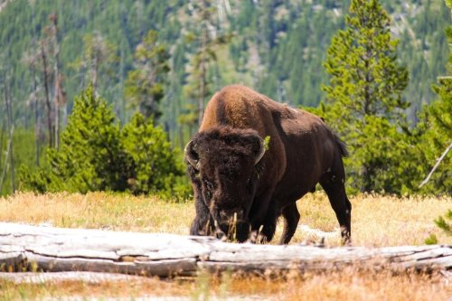 From bison to birds: How animals can help stop wildfires