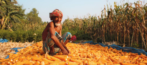 Why farmers in northern Bangladesh are turning to corn for food security