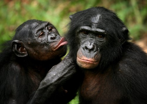 The African rainforest may not survive if we wipe out its chimpanzee population