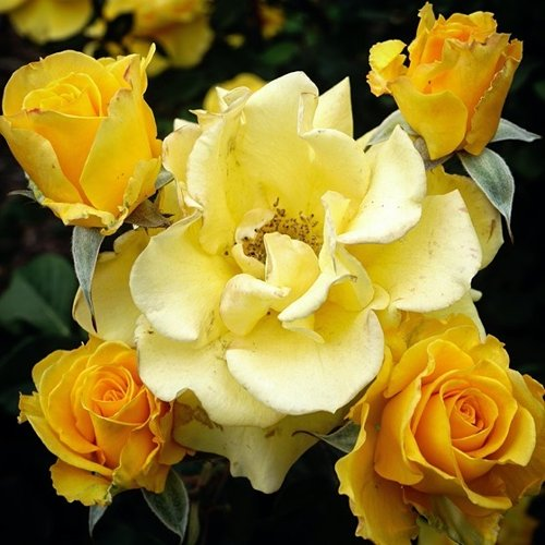 Yellow Roses In the Neighborhood via Instagram